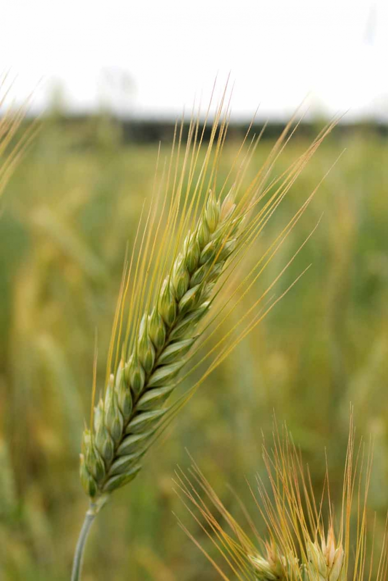 Семена озимого тритикале урожая 2017