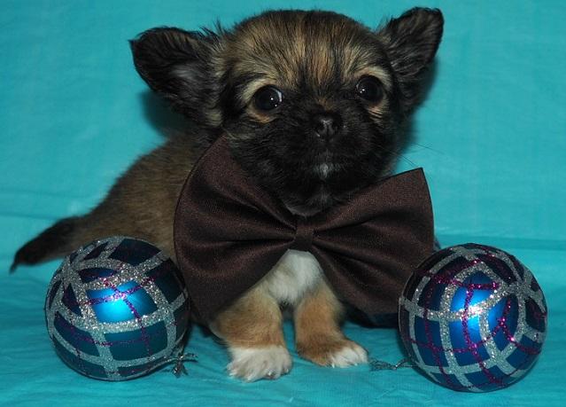 щенок ЧИХУАХУА- очаровательный мальчик