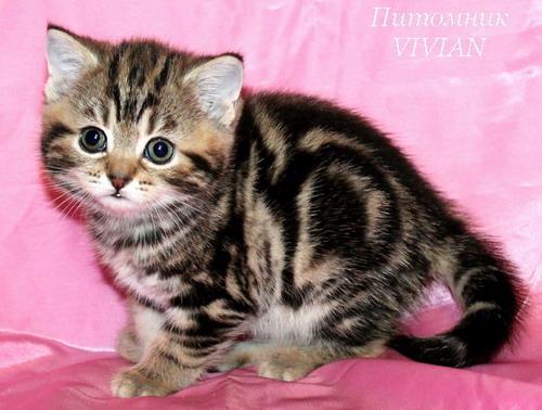 Британские котята мрамор и вискас
