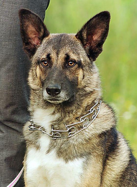 Молодой пс Эдмунд в дар