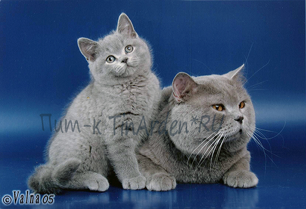Британские котята голубого окраса.
