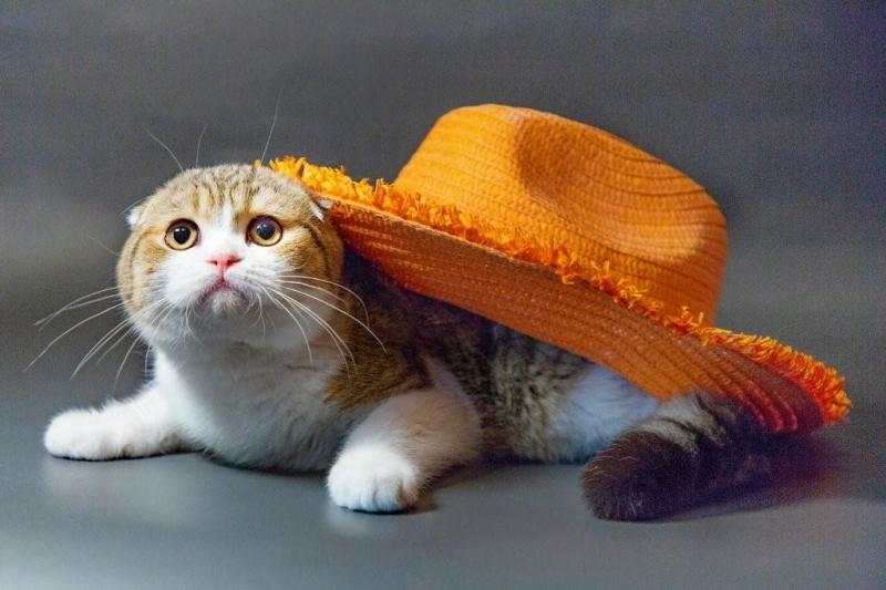 Шотландские котята - тепло и уют вашего дома