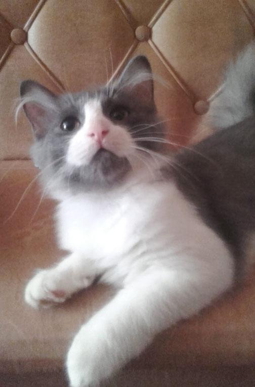 Сибирские котята в добрые руки