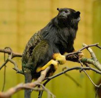 Тамарин краснорукий, маленькие обезьянки, террариумного содержания, террариумы.