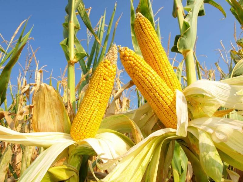 Семена кукурузы СКАП 201, СКАП 202, СКАП 251 СВ, СКАП 302 СВ, СКАП 303